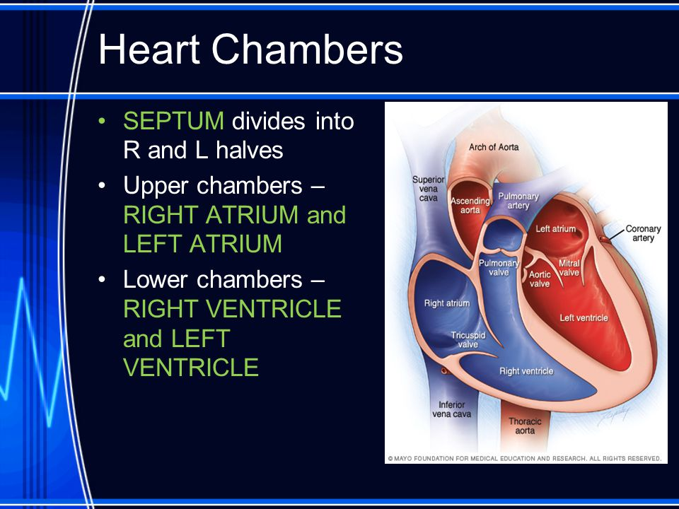 Heart Chambers SEPTUM divides into R and L halves