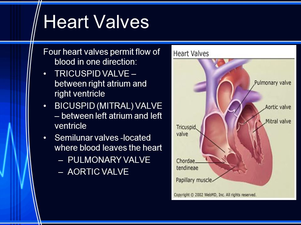 Heart Valves Four heart valves permit flow of blood in one direction: