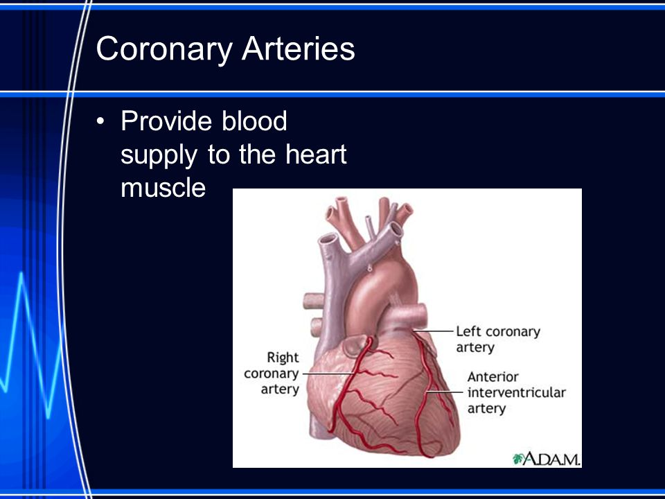 Coronary Arteries Provide blood supply to the heart muscle