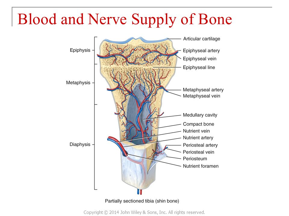 Blood and Nerve Supply of Bone