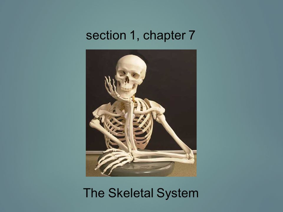 section 1, chapter 7 The Skeletal System