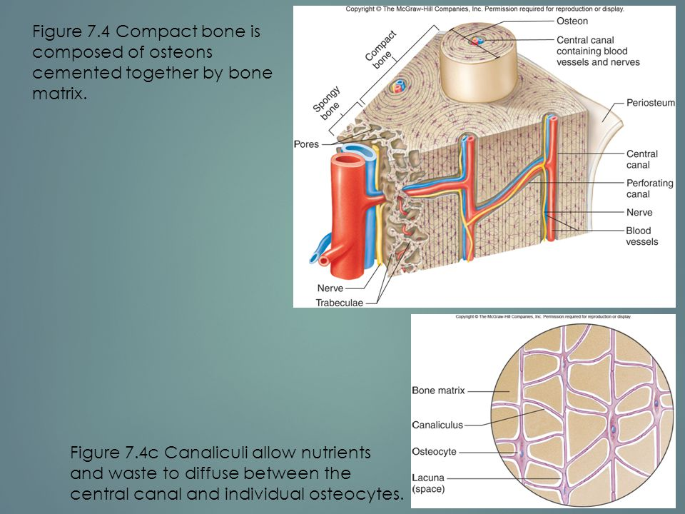 Figure 7.4 Compact bone is composed of osteons cemented together by bone matrix.