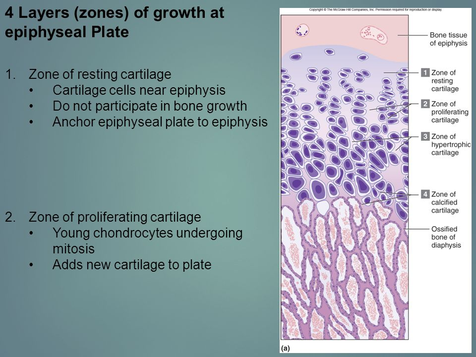 4 Layers (zones) of growth at epiphyseal Plate