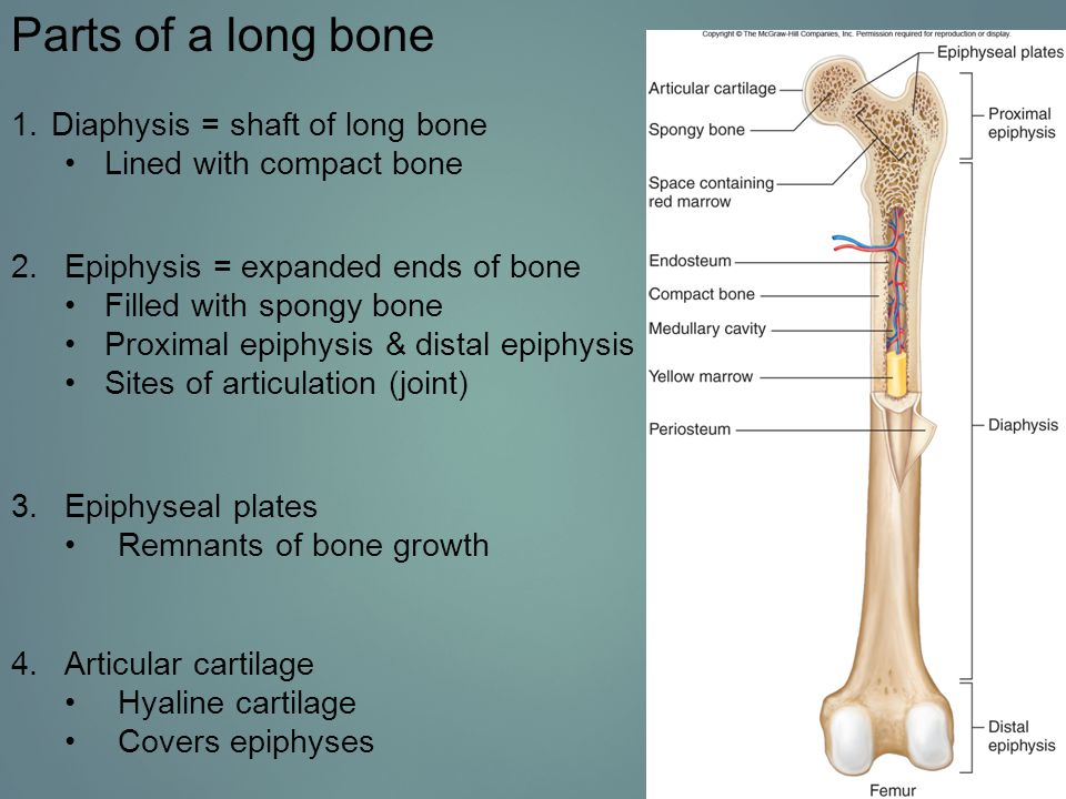Parts of a long bone Diaphysis = shaft of long bone
