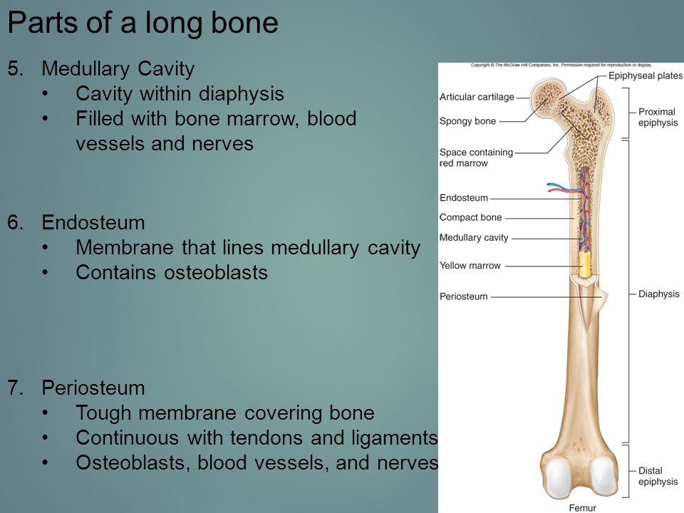 Parts of a long bone Medullary Cavity Cavity within diaphysis
