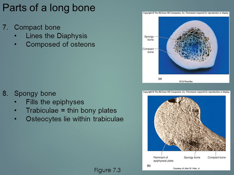 Parts of a long bone Compact bone Lines the Diaphysis