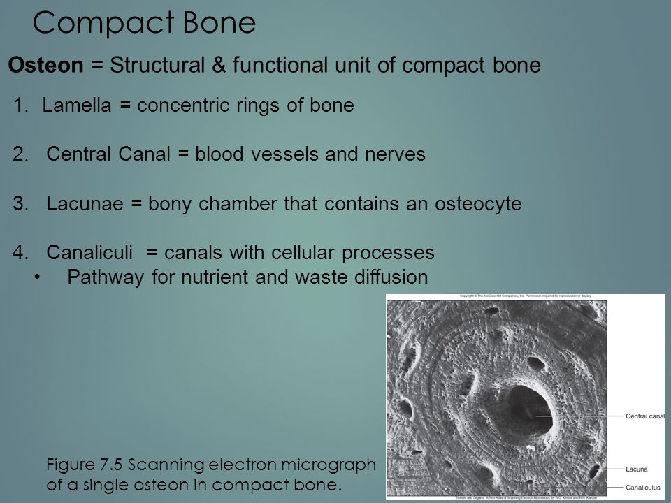 Compact Bone Osteon = Structural & functional unit of compact bone