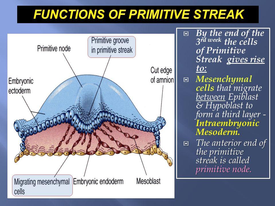 FUNCTIONS OF PRIMITIVE STREAK