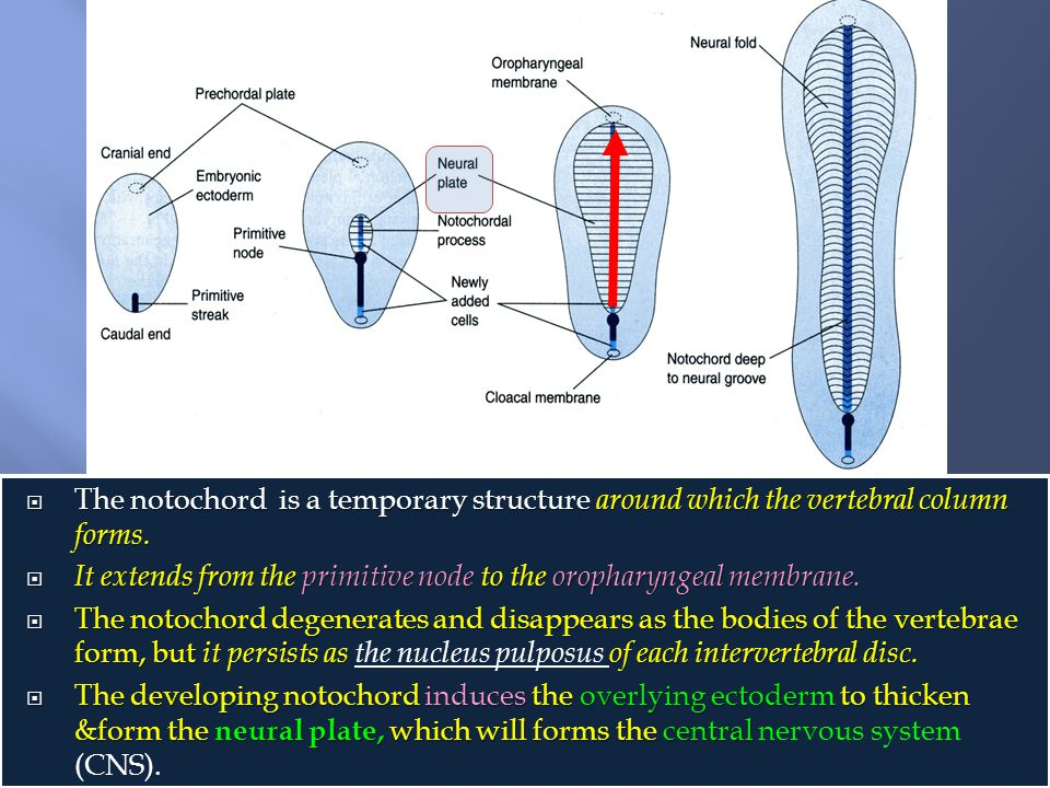 The notochord is a temporary structure around which the vertebral column forms.