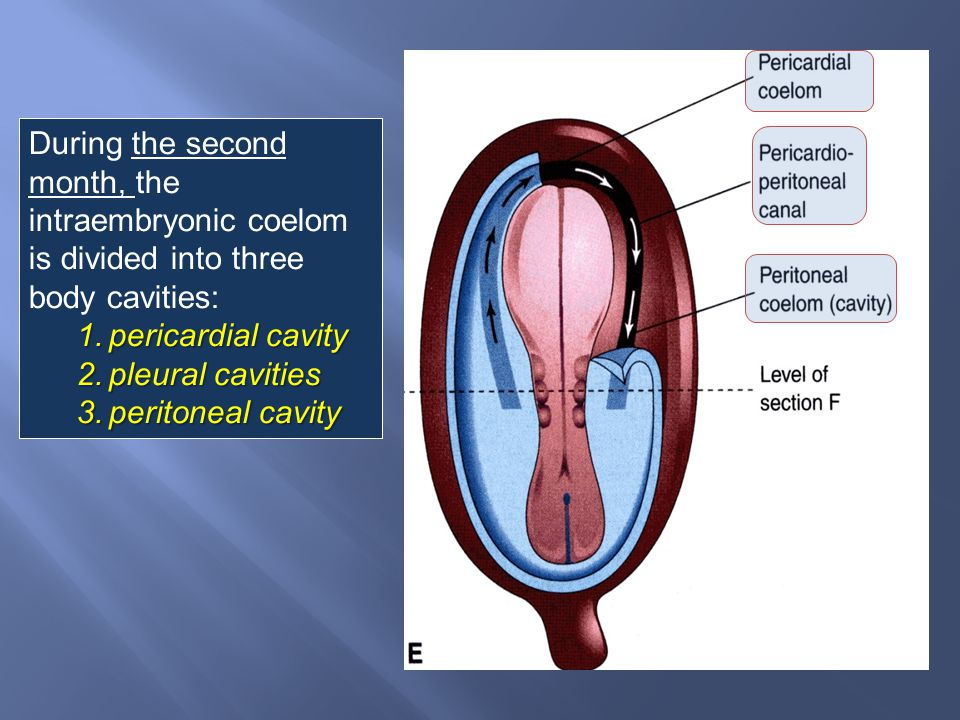 During the second month, the intraembryonic coelom is divided into three body cavities: