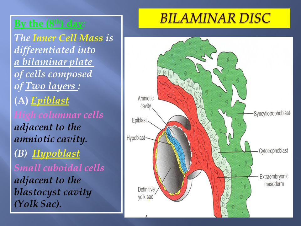 BILAMINAR DISC By the (8th) day: