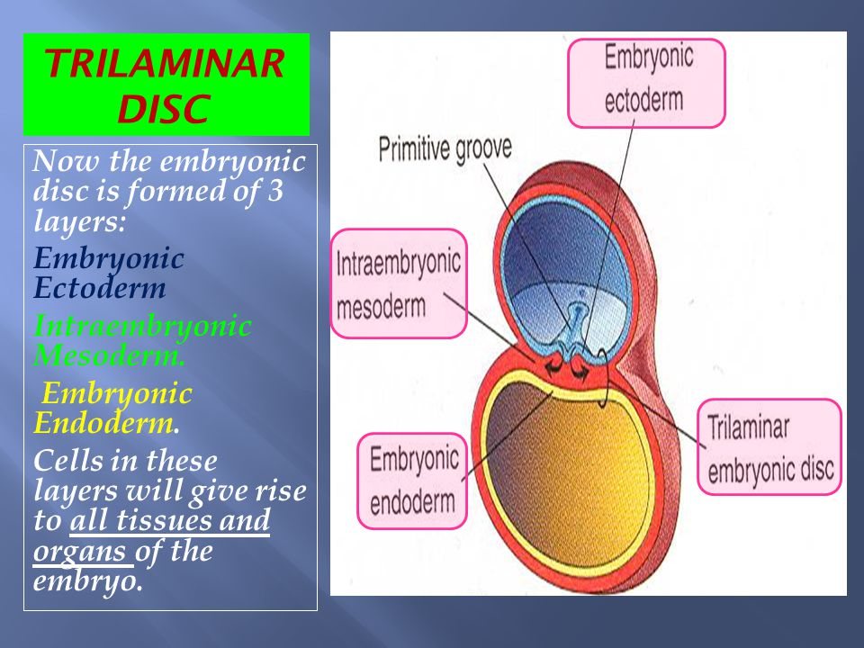 TRILAMINAR DISC Now the embryonic disc is formed of 3 layers: