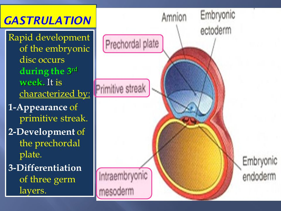 GASTRULATION Rapid development of the embryonic disc occurs during the 3rd week. It is characterized by: