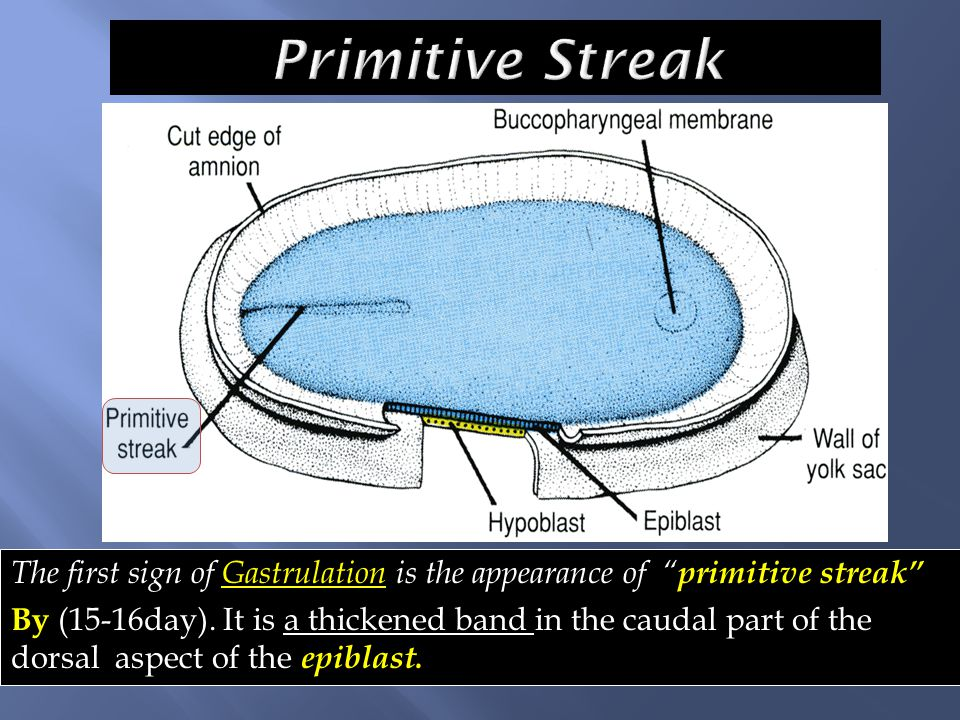Primitive Streak The first sign of Gastrulation is the appearance of primitive streak