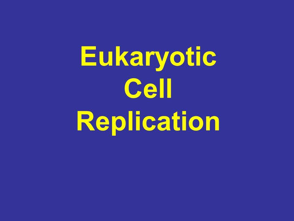 Eukaryotic Cell Replication