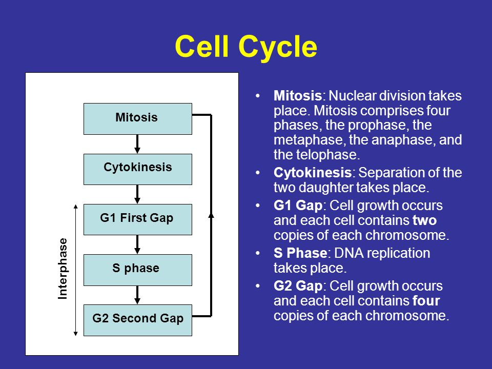 Cell Cycle Mitosis: Nuclear division takes place. Mitosis comprises four phases, the prophase, the metaphase, the anaphase, and the telophase.