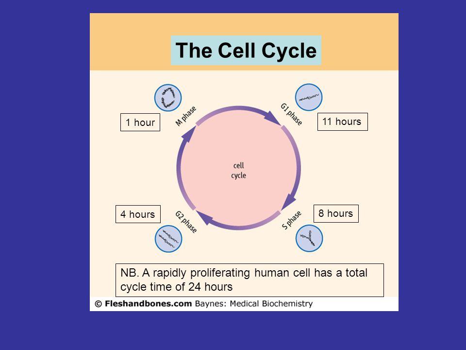 The Cell Cycle 1 hour. 11 hours. 4 hours. 8 hours.