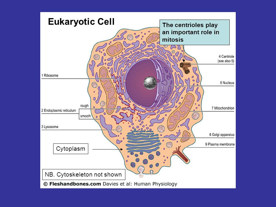 Eukaryotic Cell The centrioles play an important role in mitosis