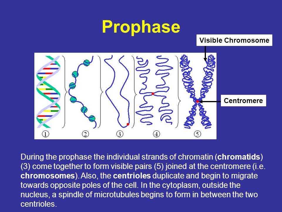Prophase Visible Chromosome. Centromere.