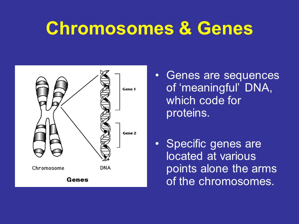Chromosomes & Genes Genes are sequences of 'meaningful' DNA, which code for proteins.