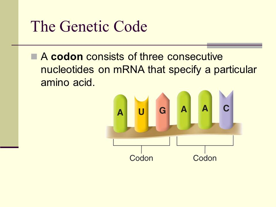 The Genetic Code A codon consists of three consecutive nucleotides on mRNA that specify a particular amino acid.