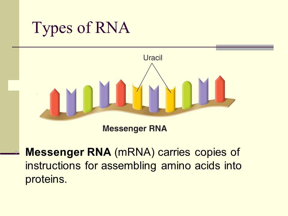 Types of RNA The three main types of RNA are messenger RNA, ribosomal RNA, and transfer RNA.