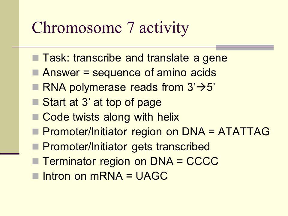 Chromosome 7 activity Task: transcribe and translate a gene
