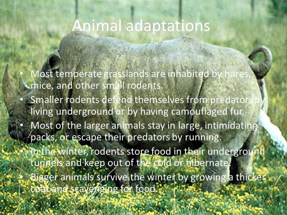 temperate grassland andrew amp jordan ppt video online