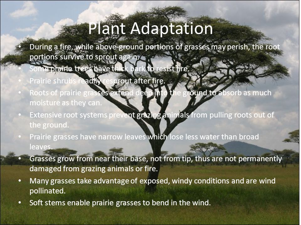 Plant Adaptation During a fire, while above-ground portions of grasses may perish, the root portions survive to sprout again.