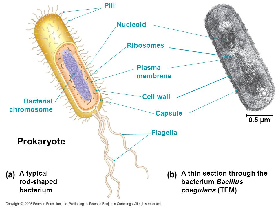 Prokaryote A typical rod-shaped bacterium A thin section through the