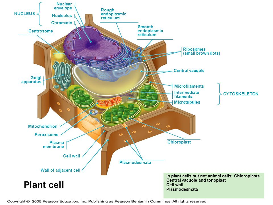 Plant cell LE 6-9b Nuclear envelope Rough endoplasmic NUCLEUS