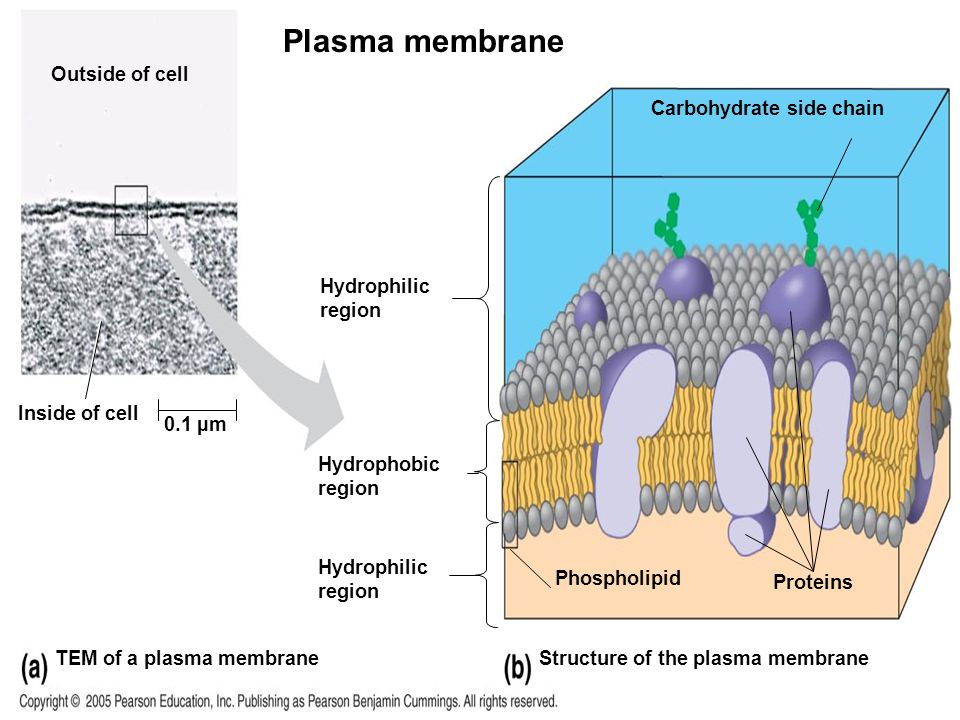 Plasma membrane LE 6-8 Outside of cell Carbohydrate side chain