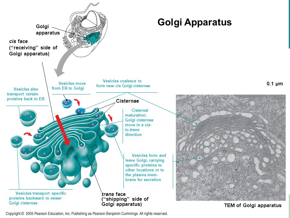 Golgi Apparatus LE 6-13 Golgi apparatus cis face ( receiving side of