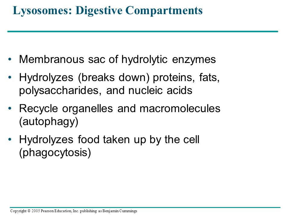 Lysosomes: Digestive Compartments