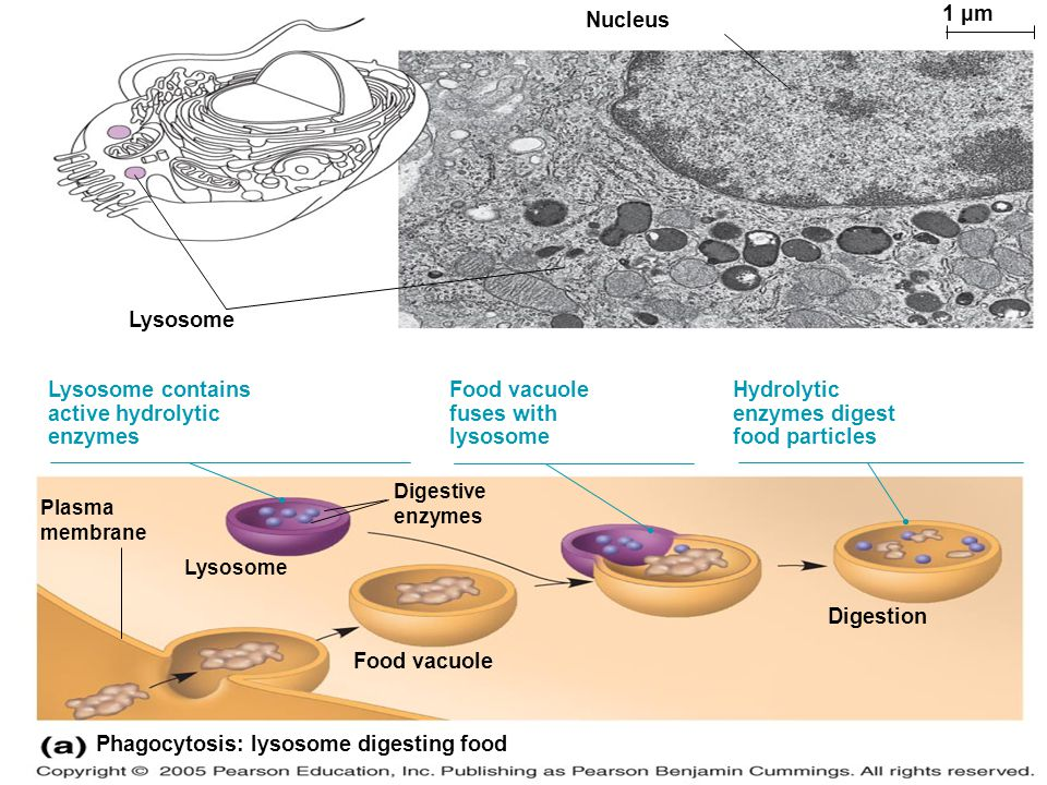 Phagocytosis: lysosome digesting food 1 µm