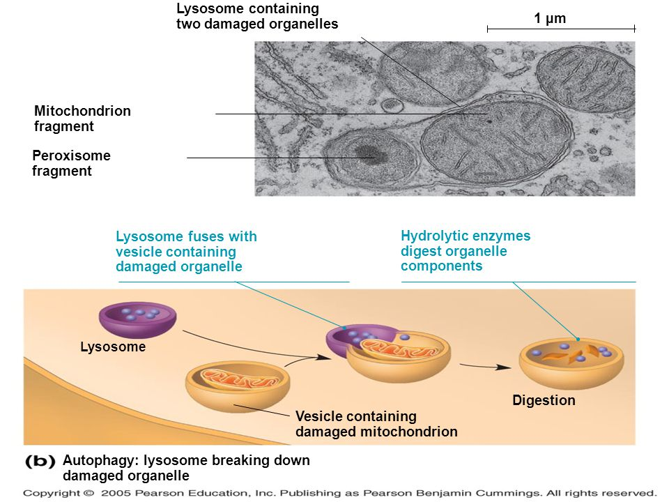 Autophagy: lysosome breaking down damaged organelle 1 µm