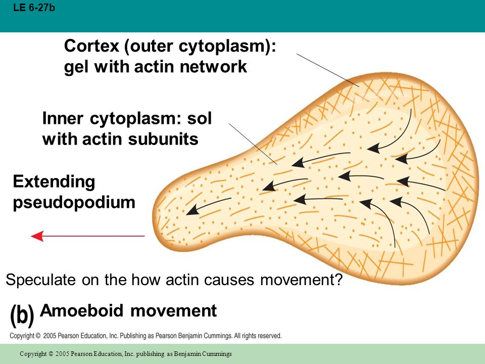 Speculate on the how actin causes movement