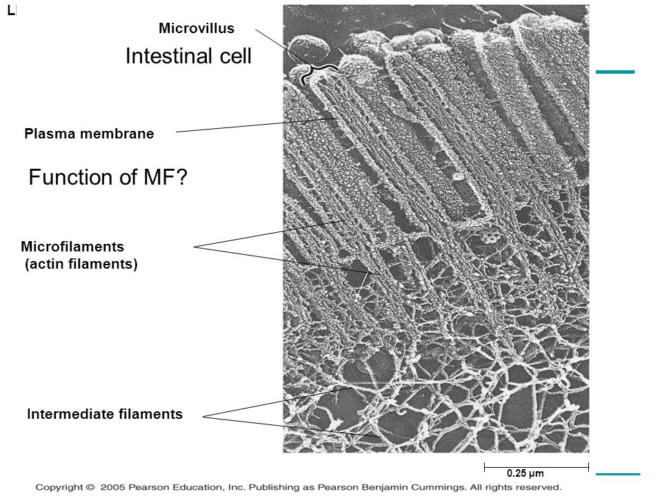 Intestinal cell Function of MF Microvillus Plasma membrane
