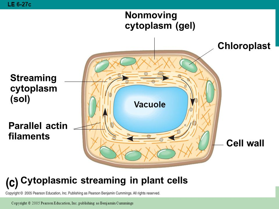 Cytoplasmic streaming in plant cells Chloroplast