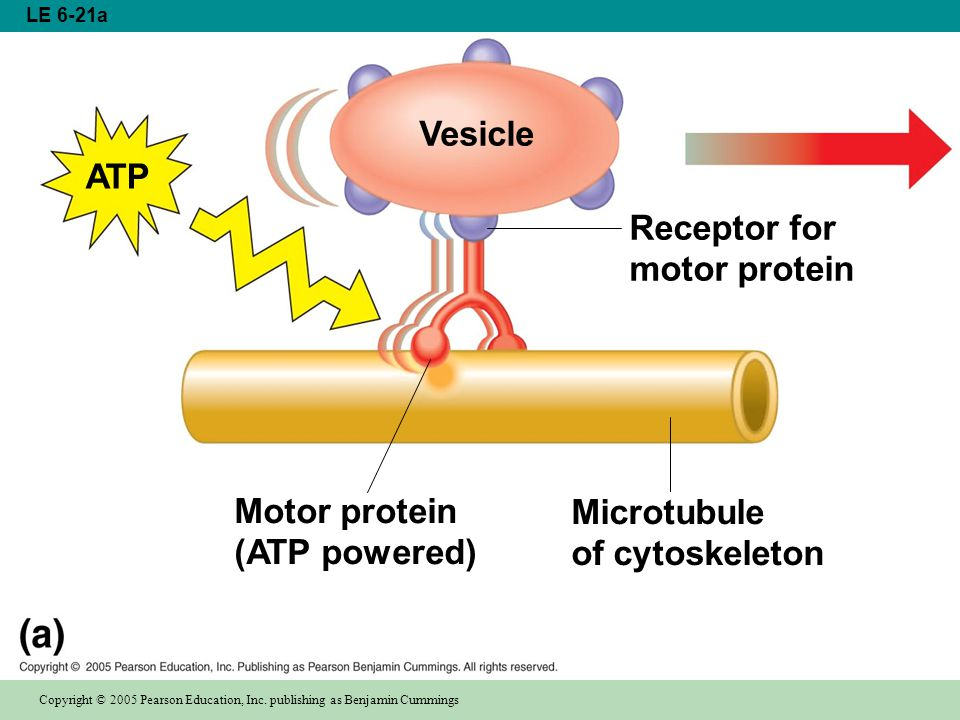 Vesicle Receptor for motor protein Microtubule of cytoskeleton