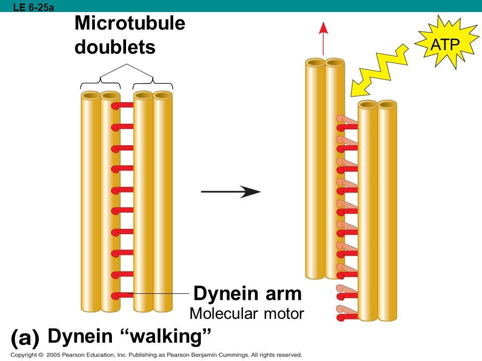Microtubule doublets Dynein arm Dynein walking ATP ATP