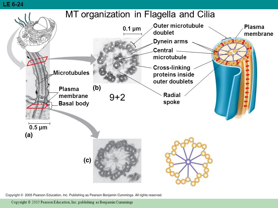 MT organization in Flagella and Cilia