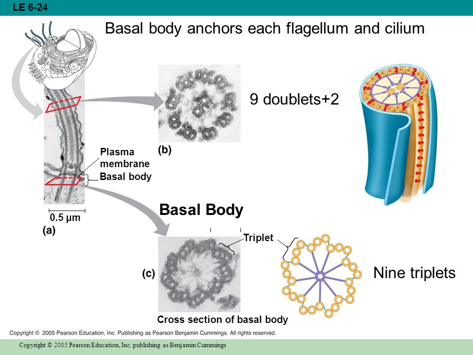 Basal body anchors each flagellum and cilium