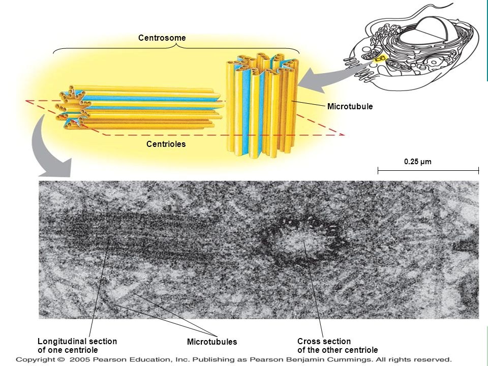 LE 6-22 Microtubule Centrosome Centrioles Longitudinal section