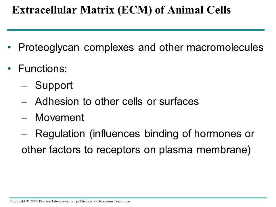 Extracellular Matrix (ECM) of Animal Cells
