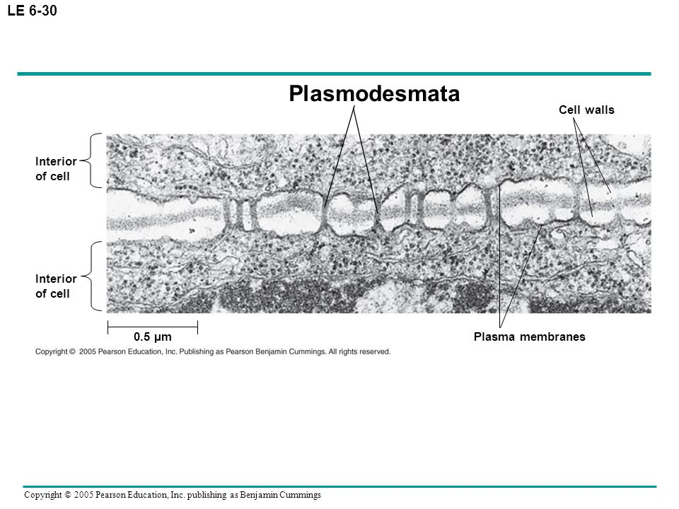 Plasmodesmata LE 6-30 Cell walls Interior of cell Interior of cell