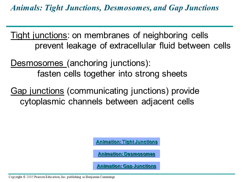 Animals: Tight Junctions, Desmosomes, and Gap Junctions
