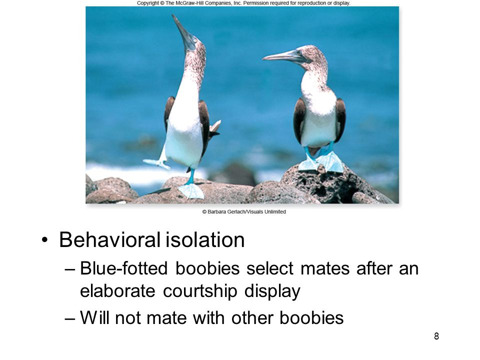 Behavioral isolation Blue-fotted boobies select mates after an elaborate courtship display.