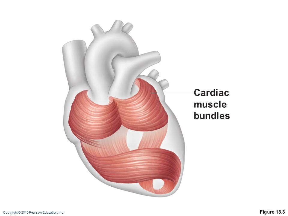 Cardiac muscle bundles Figure 18.3