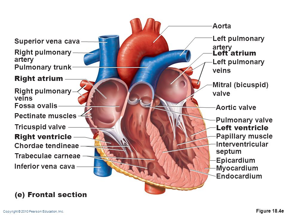 Aorta Left pulmonary artery Superior vena cava Right pulmonary artery